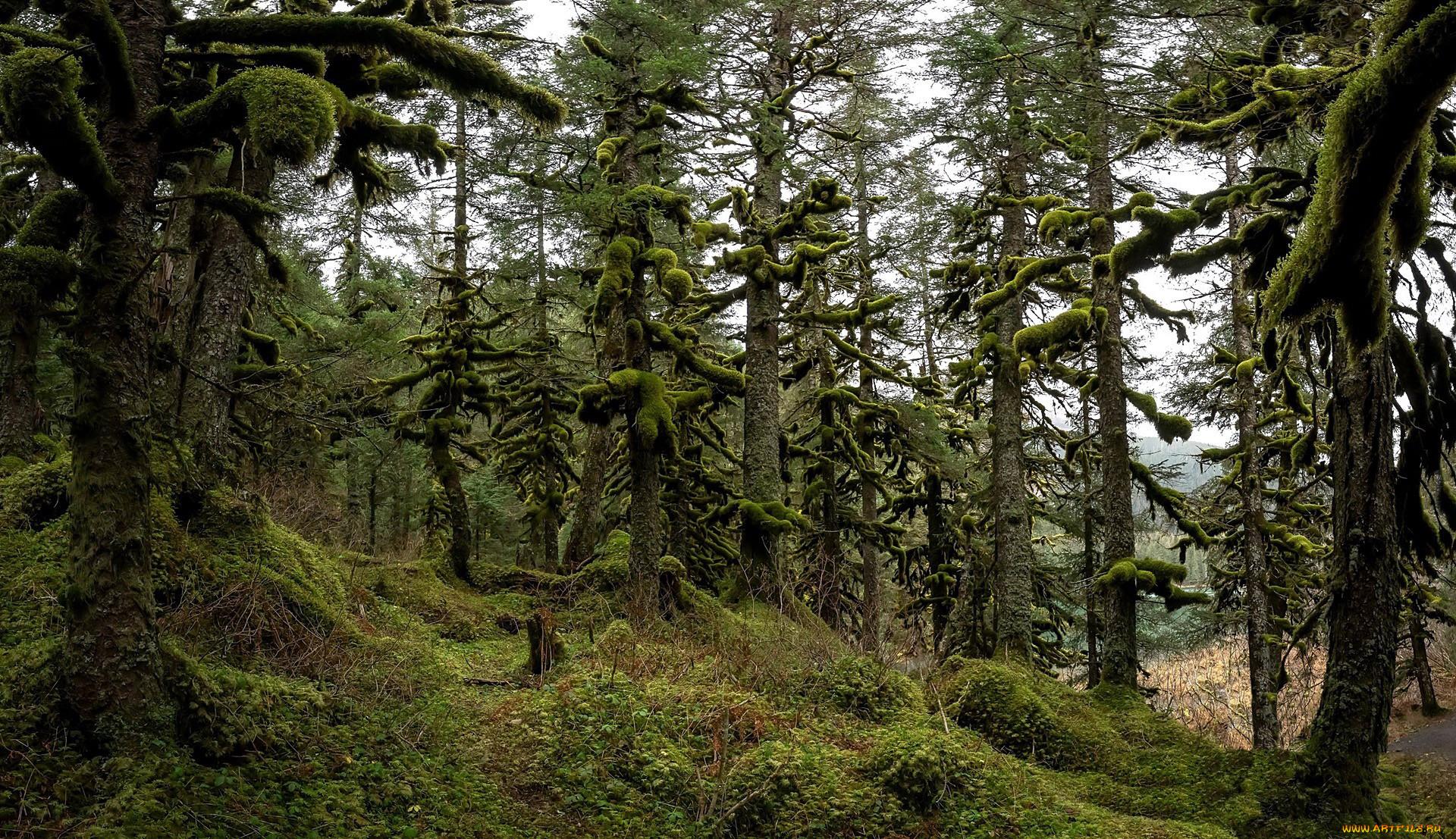природа, лес, мох, деревья